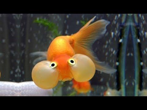 Most Beautiful Types Of Goldfish | Top Goldfish Names