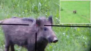 wild boar hunting, wild pig hunting, wild hog hunting (phone+scope)