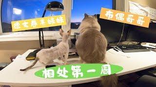 【辛巴和优米】布偶猫和德文卷毛相处的第一周
