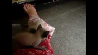 Сиамские котята - 1 месяц