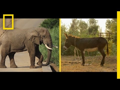 Elephant or Donkey? How Animals Became U.S. Political Symbols | National Geographic