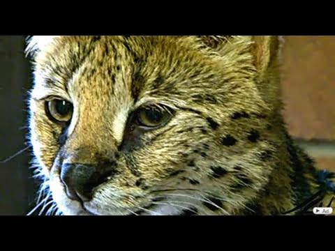 African Serval and Abyssinian - Spectacular cats.