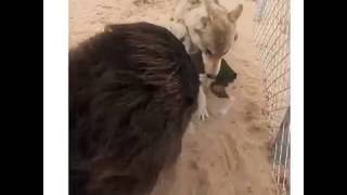 Wolf VS Tibetan Mastiff