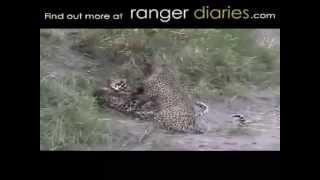 Опасные животные. Дикие животные. Леопард против леопарда