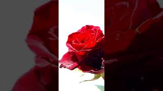 Rose white background live wallpapers | Red Rose White Background Images screenshot 5