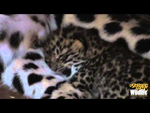 BCS - Amur Leopard Cubs 2012 - with Mum at just 11 Days Old