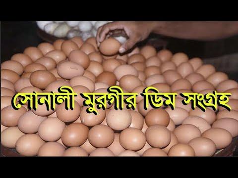 সোনালী মুরগির ডিম সংগ্রহ | Collection Of Golden Chicken Eggs