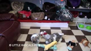 Little Rascals Uk Breeders New Litter Of Shichon/Zuchon - Puppies For Sale UK