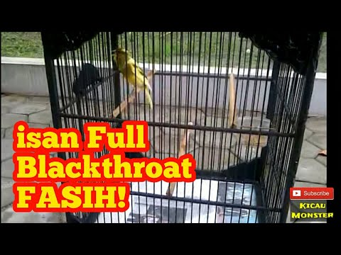 Download Lagu Kenari ISIAN Blackthroat FULL