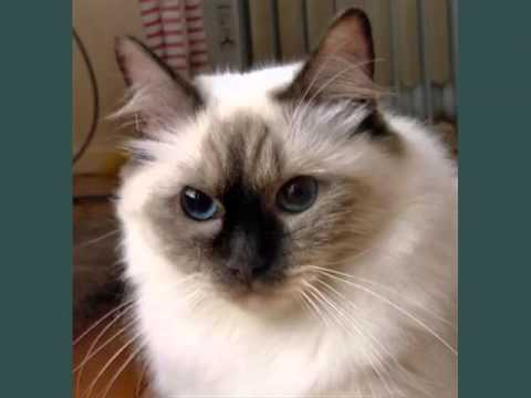 Rag Doll Cat | Picture Collsection Of Rag Doll