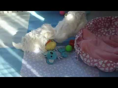 Regalo Cuccioli Di Maltese Mini Toy Youtube