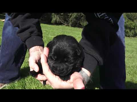 Kraftwerk K9 German Shepherd puppies at 12 days old!