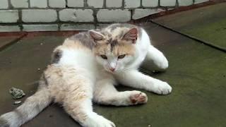 Кот, очень жирный и ленивый кот. Cat, fatty and lazy cat.
