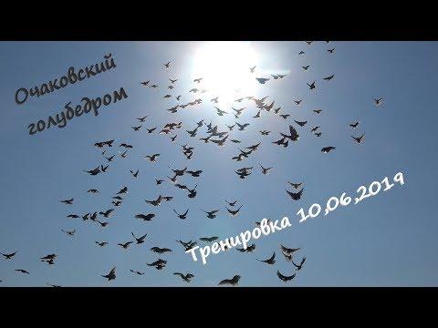 Очаковский голубедром. Тренировка голубей 10,06,2019