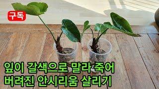 잎이 갈색으로 변해 버련진 안시리움식물 살리기 Rest…