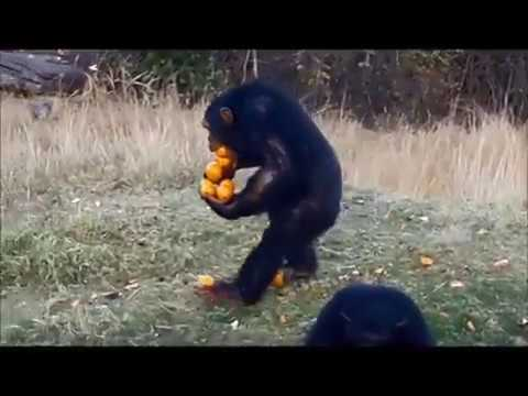 funny chimp carrying many oranges youtube
