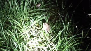Southern Toad Calling David Barkasy
