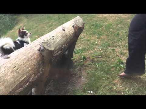 Chihuahua Betty ist mutig, springt über eine Bank