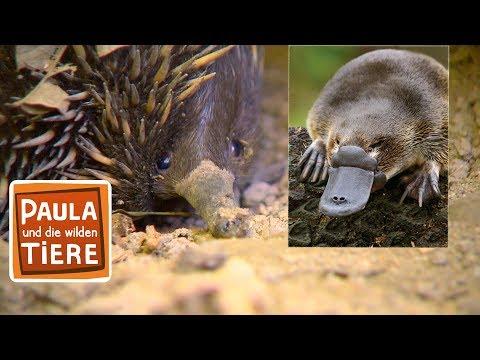 Schnabeltier & Schnabeligel Doku | Reportage für Kinder | Paula und die wilden Tiere
