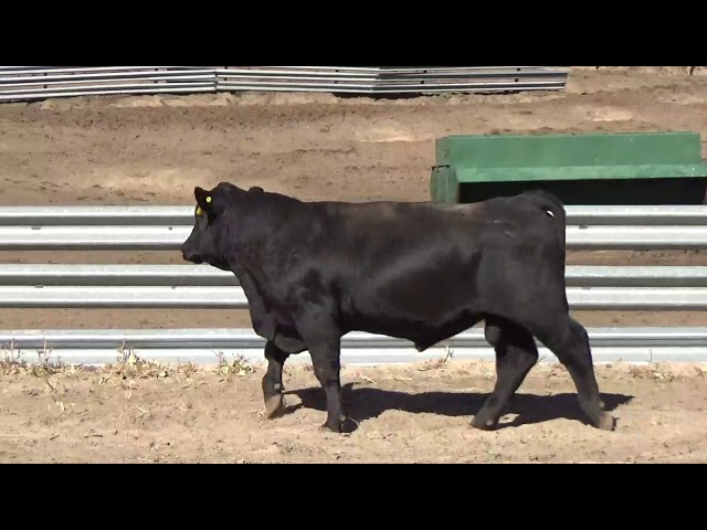 Connealy Angus Lot 150
