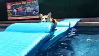 5 Month Old Pembroke Welsh Corgi Puppy Watson Runs Across A Pool Float Bridge