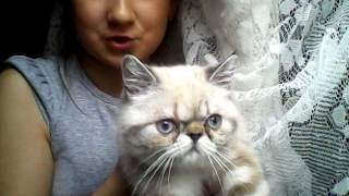 У меня появился экзотический короткошерстный  котенок  экзот  всё что необходимо !!!