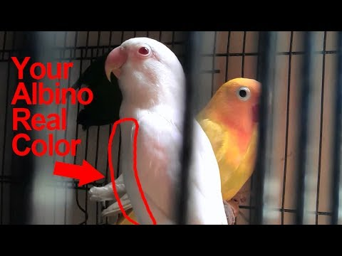 Albino Red Eyes Lovebird: How to Determine Its Real Color & Motif