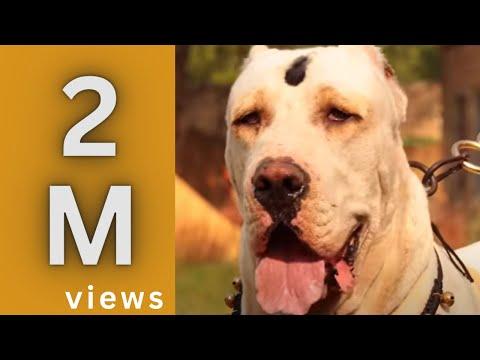 BHOLU BULLY KUTTA BULLY DOG