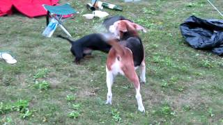 Beagle Vs Dachshund