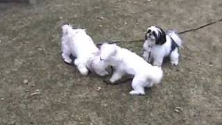 Doggie Playtime With Chester The Lhasa Apso And Friends