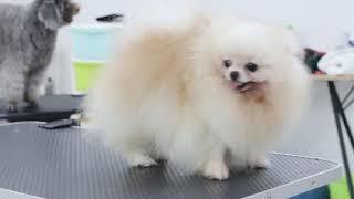 Ritdo cắt tỉa lông chó Đà Nẵng Pomeranian Sisi
