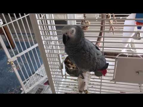 African Grey Parrot Scipio shows how she unlocks and opens closed cage door