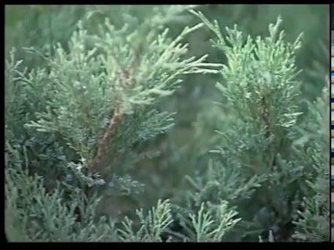 Можжевельник обыкновенный — Википедия