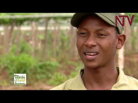 SEEDS OF GOLD: Intercropping Mangoes with Passion Fruits   2020