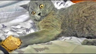 Small kitty is playing with piece of gold - GET READY to LAUGH!
