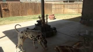 Dalmatian And Husky Cousins