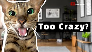 Bengal Cat in Apartments  - Should You Be Worried?