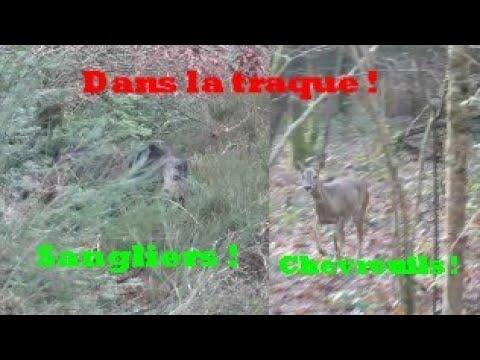 Battue Aux Sangliers Et Chevreuils Dans La Traque ! Au Coeur De L'action !