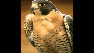 Falcon Shriek