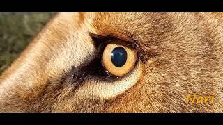 Посмотри в глаза: львица Нари. Look Into The Eyes: Lioness Nari