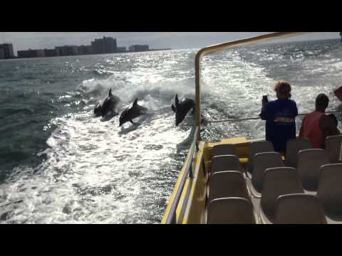 Dolphins Chasing Boat in Gulf of Mexico!  Sea Screamer - Clearwater, FL!