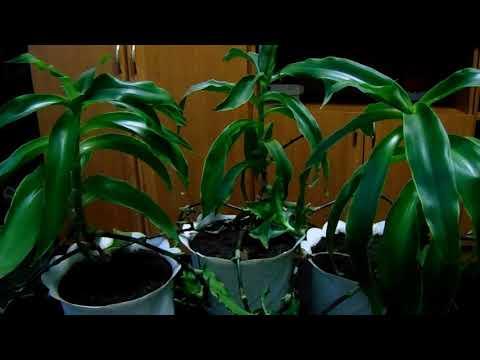 Выращивание и уход в домашних условиях за лекарственным растением - Золотой Ус (Каллизия душистая).