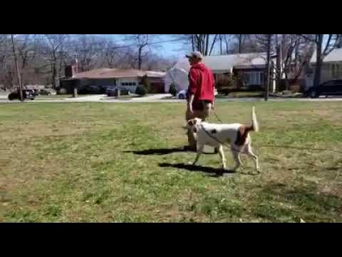 Dog Training Long Line Recall | Biting Human aggressive dog