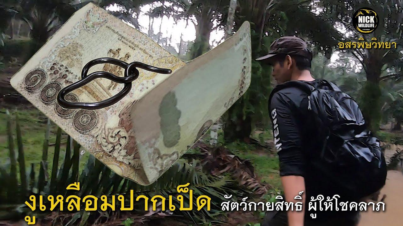 อสรพิษวิทยา EP.33 งูเหลือมปากเป็ด สัตว์กายสิทธิ์ผู้ให้โชคลาภ