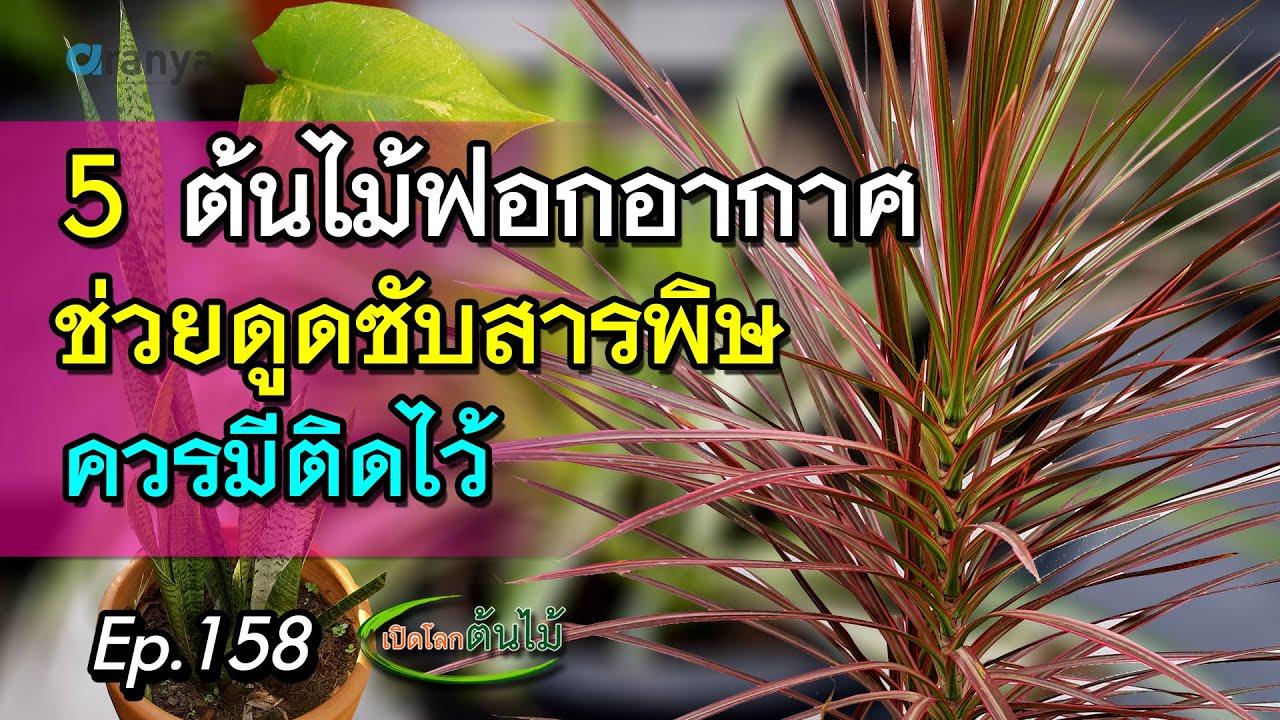 5 ต้นไม้ฟอกอากาศช่วยดูดซับสารพิษ ควรมีติดบ้าน   Aranya Channel