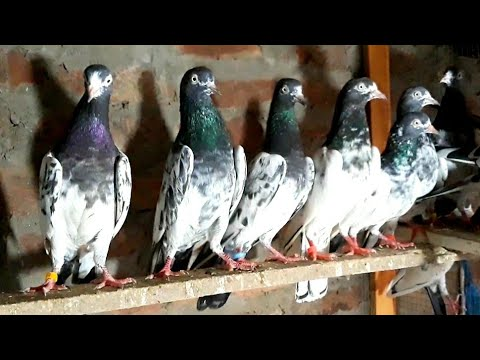 Teddy kabootar for sale location Lahore - pigeon lovers