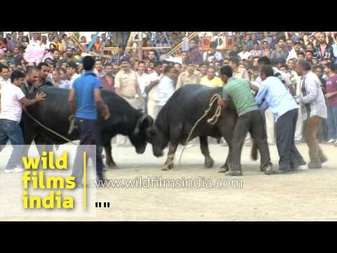Thumbnail: Bull or buffalo fight? Watch this Himalayan show!