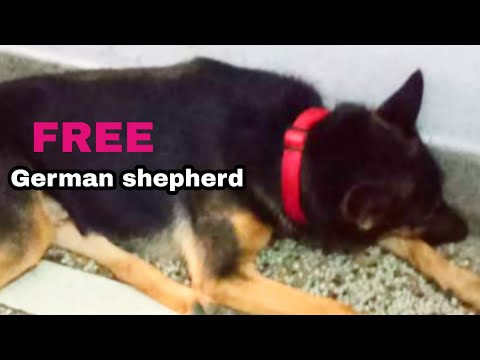 free-adoption-german-shepherd