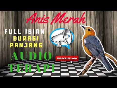 Masteran Anis Merah Full Isian MP3   Suara Burung Anis Merah Untuk Masteran MP3