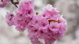 Chinese Bamboo Flute 10 笛子曲   一剪梅 A Spray of Plum Blossoms